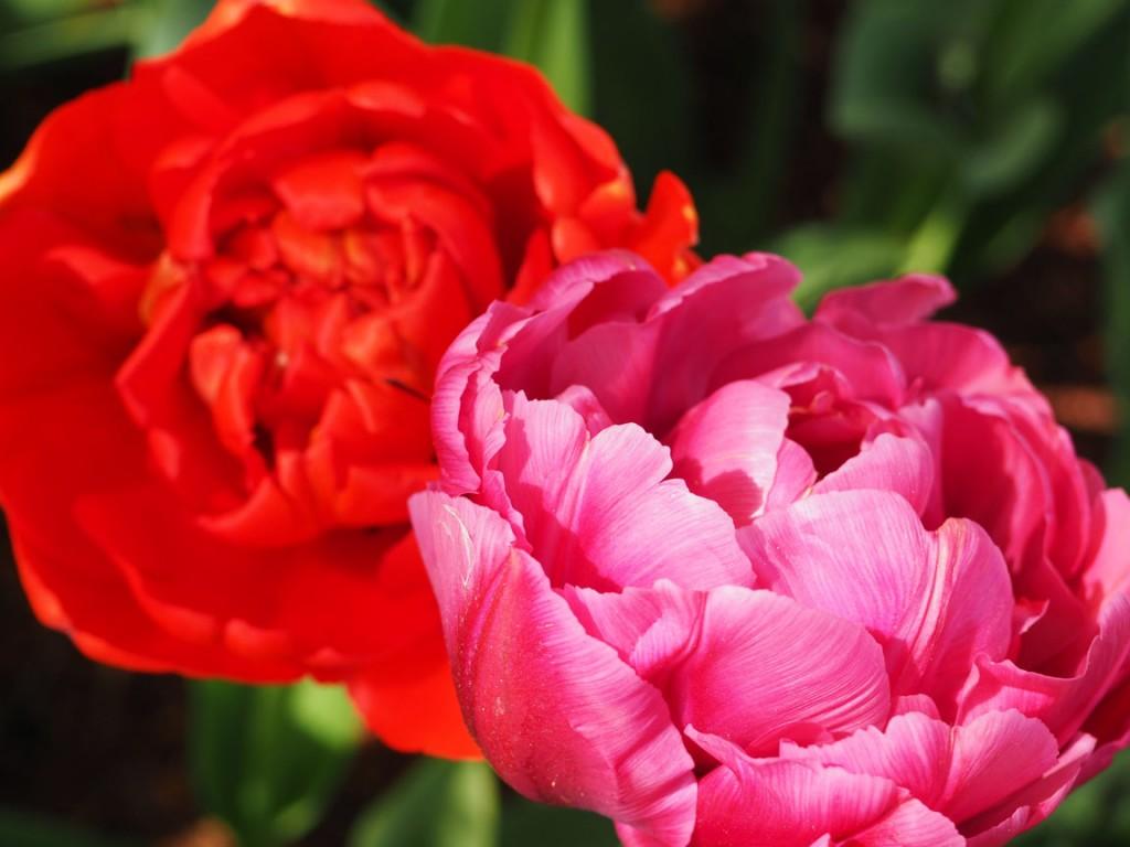 The Mount Vernon Tulip Festival