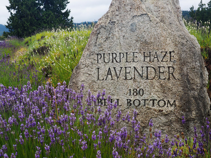 The Lavender Festival in Sequim, WA