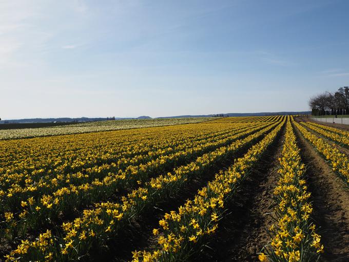 Hello, Yellow: The La Conner Daffodil Festival