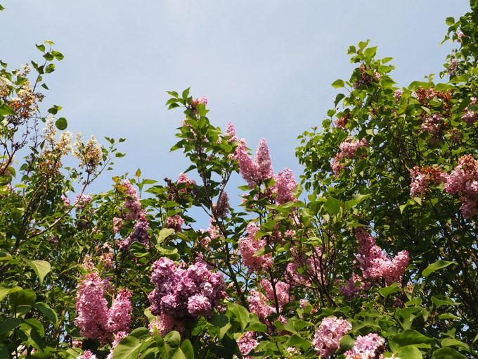 Lilac Days in Woodland, WA