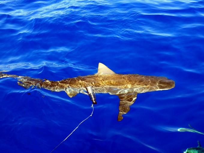 shark oahu