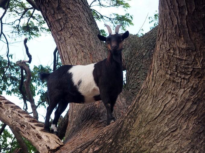 tree goat