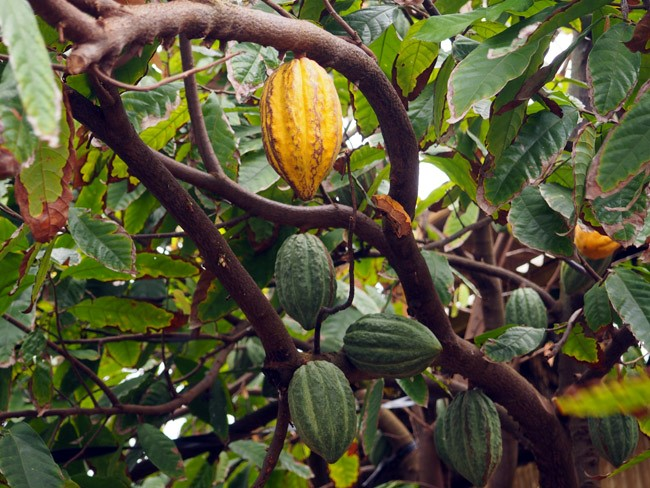 cacao pods tree