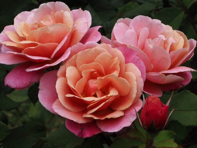City of Roses: Portland's International Rose Test Garden