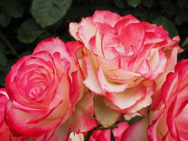 pink edged roses