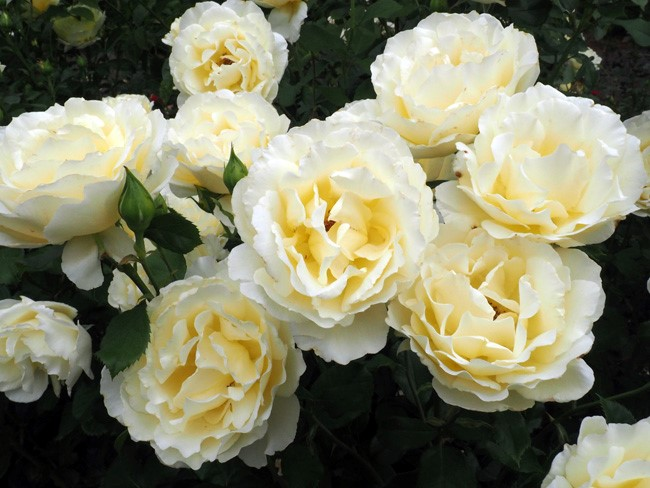 soft light yellow roses