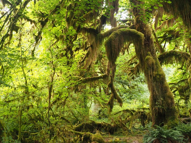 hall of mosses hoh