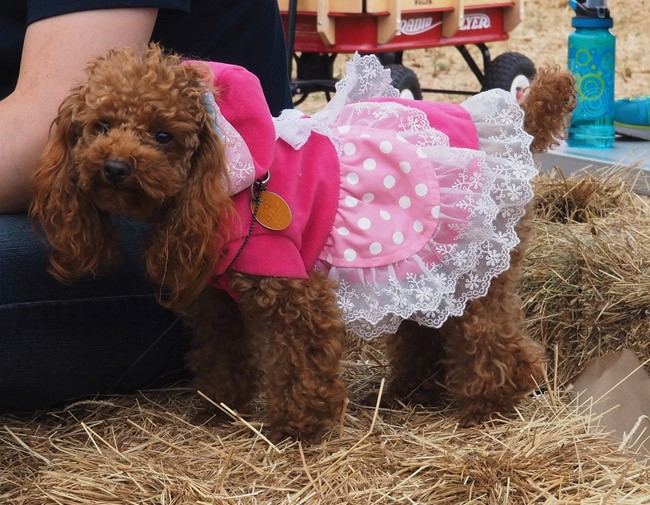 tiny dressed up dog