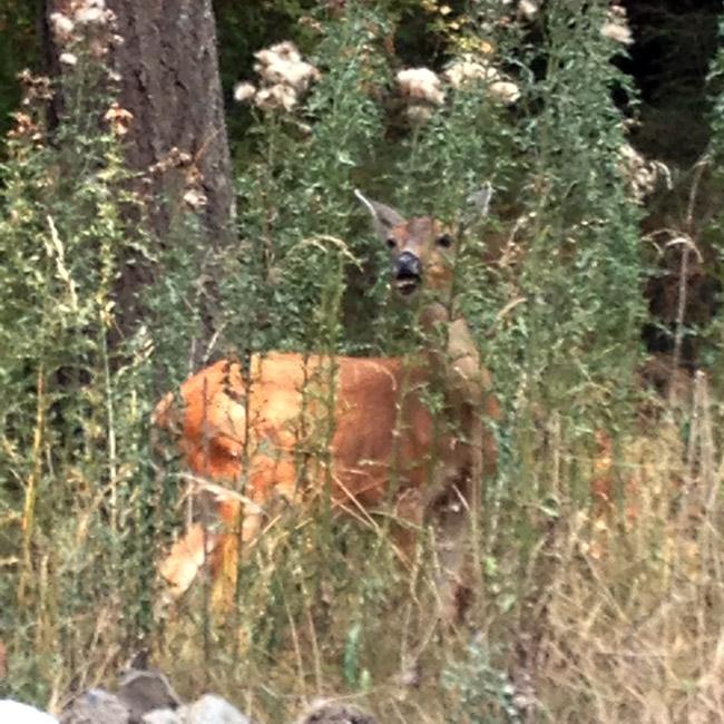 docile deer