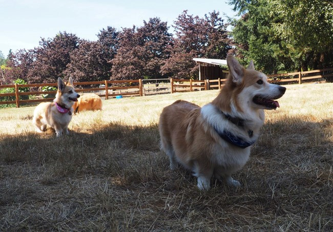 theo and nala corgis