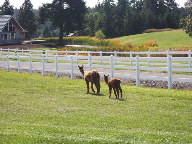 mama and baby alpaca