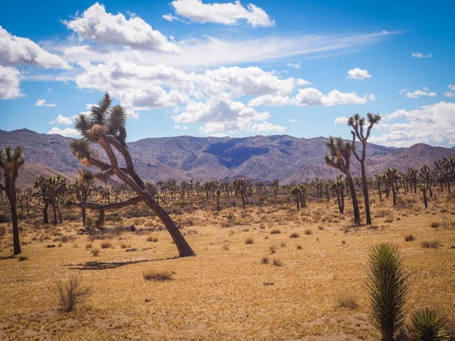 joshua tree (6 of 36)