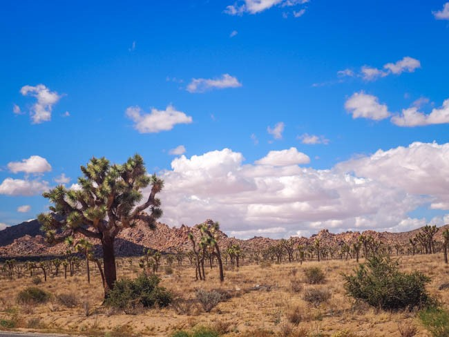 joshua tree (7 of 36)